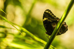 Achilles morpho motyl na gałąź w świetle słonecznym Fotografia Stock