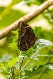 Achilles morpho motyl umieszczający na zielonym liściu Zdjęcia Stock