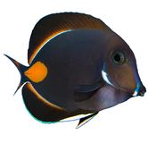 Achilles Tang Isolated arkivbild