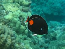 Achilles Tang (Pa kui kui) Stock Photos