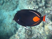 Achilles Tang (Pa kui kui). Swims over the coral reef Royalty Free Stock Images