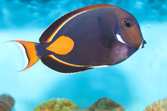 Achilles Tang or Surgeon Fish Stock Images