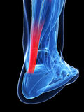 Achilles tendon. 3d rendered illustration of the achilles tendon Royalty Free Stock Images
