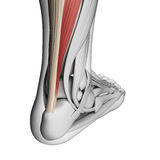 Achilles tendon. 3d rendered illustration of the achilles tendon Royalty Free Stock Photography