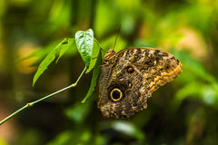 Achilleus-morpho Schmetterling gehockt vertikal auf Blatt Stockfotos