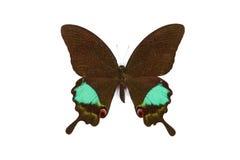 achillides黑色蝴蝶绿色karna 库存图片