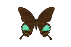 achillides czarny motyla zieleni karna Obraz Stock