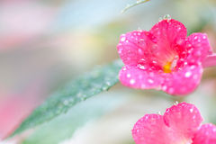 Achimenes-Blumen Lizenzfreies Stockfoto
