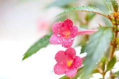 Achimenes-Blumen Stockfoto
