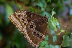 Achine di Lasiommata buttefly che si siede sulla foglia Fotografia Stock Libera da Diritti