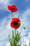 Aching to reach the sun. Beautiful poppies absorb the sunshine on a clear and beautiful day.  Blue skies and thin wispy clouds Stock Image