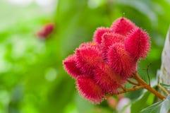 Achiote从这些多刺的红色荚的植物或绛珠子植物种子为调味和自然颜色使用,也使用为 免版税库存照片