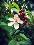 Achiote blomma Arkivfoto