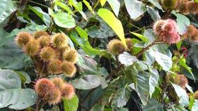 Achiote bush (Bixa orellana) in forest. Wind, Achiote bush (Bixa orellana) in forest at Don Duong town, Da Lat, Vietnam. Da Lat is the capital of Lam Province in stock video footage