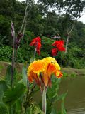 ACHIRA ORANGE FLOWER royalty free stock images