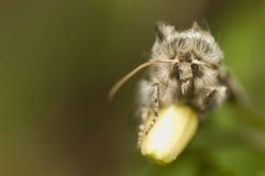 Achlya flavicornis Lizenzfreie Stockfotografie