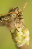 Achlya-flavicornis Lizenzfreie Stockfotografie