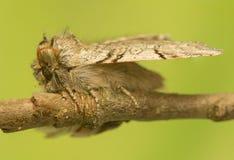 Achlya-flavicornis Stockbild