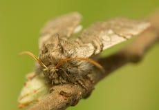 Achlya-flavicornis Lizenzfreies Stockfoto