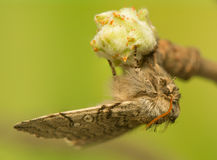 Achlya-flavicornis Stockfotografie