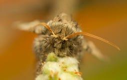 Achlya-flavicornis Lizenzfreies Stockbild