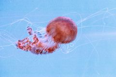 Achlyos del Chrysaora de las medusas de la ortiga del Mar Negro Imagen de archivo libre de regalías