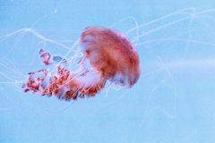 Achlyos del Chrysaora de las medusas de la ortiga del Mar Negro Imagen de archivo