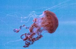 Achlyos del Chrysaora de las medusas de la ortiga del Mar Negro Foto de archivo libre de regalías