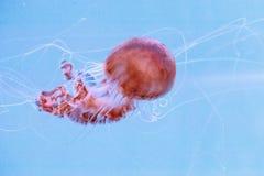 Achlyos för Chrysaora för Black Sea nässlamanet Royaltyfri Bild