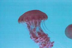 Achlyos för Chrysaora för Black Sea nässlamanet Arkivbild