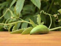 Achocha菜-狂放的黄瓜 免版税图库摄影