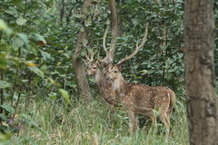 Achsen-Rotwild in den Dschungeln Lizenzfreies Stockbild