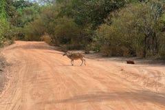 Achsenrotwild in Nationalpark Yala in Sri Lanka Lizenzfreies Stockbild