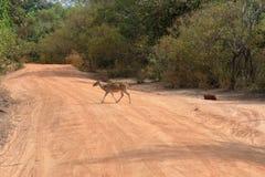 Achsenrotwild in Nationalpark Yala in Sri Lanka Stockfotografie