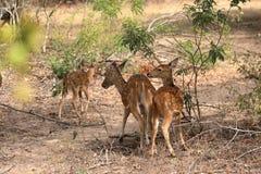 Achsenrotwild in Nationalpark Yala in Sri Lanka Stockfoto