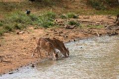 Achsenrotwild in Nationalpark Yala in Sri Lanka Stockfotos