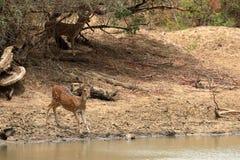 Achsenrotwild in Nationalpark Yala in Sri Lanka Lizenzfreie Stockfotos