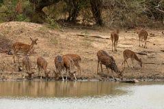 Achsenrotwild in Nationalpark Yala in Sri Lanka Lizenzfreies Stockfoto