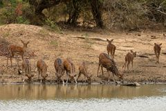 Achsenrotwild in Nationalpark Yala in Sri Lanka Lizenzfreie Stockfotografie