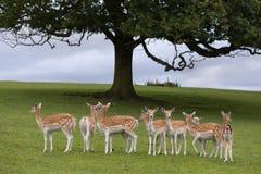 Achsenrotwild unter Baum Lizenzfreie Stockfotografie
