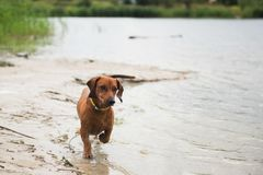 Achshund with a cane in his teeth runs. Along the shore of the lake Royalty Free Stock Photography