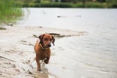 Achshund z trzciną w jego zębach biega fotografia royalty free
