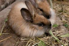 Acht Angora-Kaninchenausrüstungen der Wochen alte braune Alt genug verkauft werden Stockfotografie