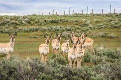 Acht Antilopen-Dollars auf einem Gebiet stockfoto