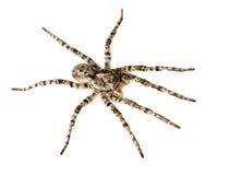 Acht benen giftig gevaar Stock Afbeeldingen