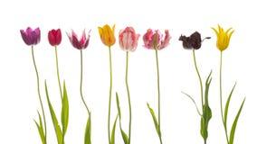 Acht bunte schöne Tulpen Stockbild