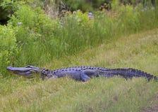 Acht-Fuß-Alligator Lizenzfreie Stockfotos