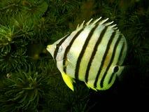 Acht-gevoerde Butterflyfish Stock Foto's