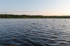 Acht Höckerschwäne in einem blauen See auf Sonnenuntergang Stockfotos