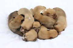 Acht het bruine puppy slapen Royalty-vrije Stock Foto's